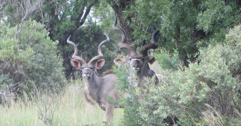 Animals in Africa You Need to Hunt kudu