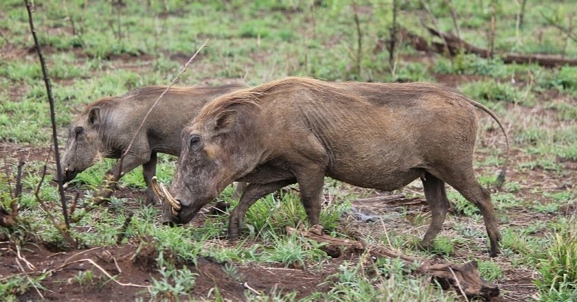 Animals in Africa You Need to Hunt warthog