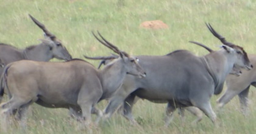 picture of Animals in Africa You Need to Hunt eland