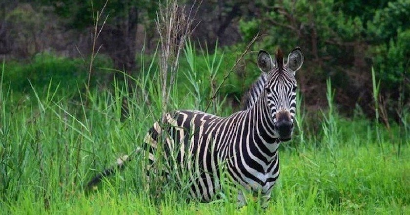 picture of Animals in Africa You Need to Hunt zebra
