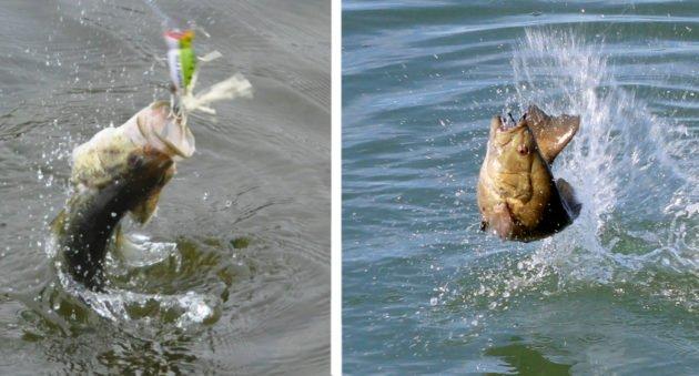 Largemouth vs Smallmouth