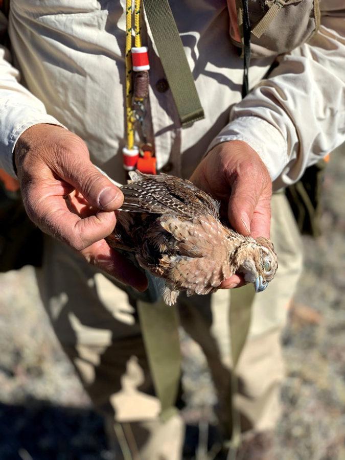 quail, female Mearns