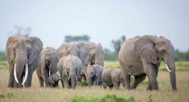 Elephant Poacher