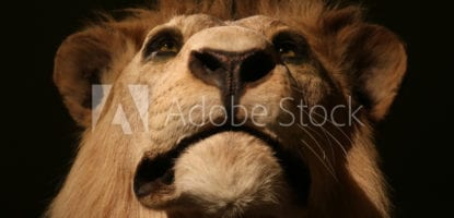 Impressive head of a proud looking but stuffed male lion (panthera leo) taxidermy in front view in dramatic light