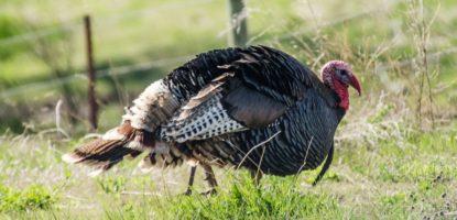 wild turkey, turkey, animal